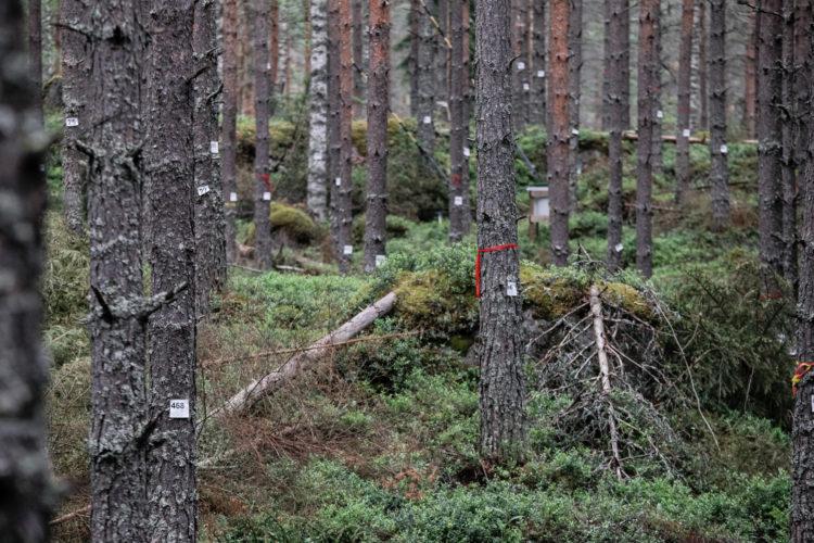 Opiskelijat ovat käyneet läpi ja merkanneet metsäasemalla 4000 puuta. Kuva: Matti Porre/Tasavallan presidentin kanslia